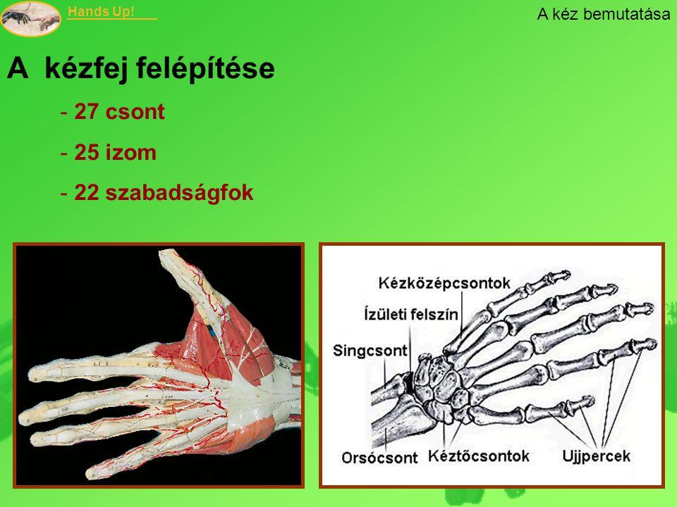 A kéz bemutatása A kézfej felépítése 27 csont 25 izom 22 szabadságfok