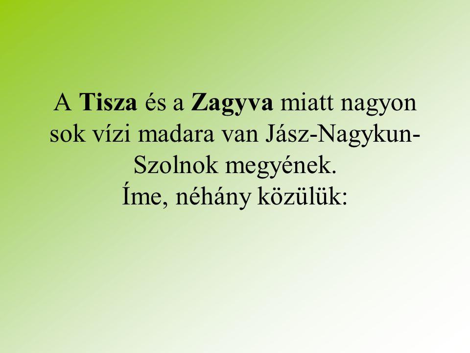 A Tisza és a Zagyva miatt nagyon sok vízi madara van Jász-Nagykun-Szolnok megyének.