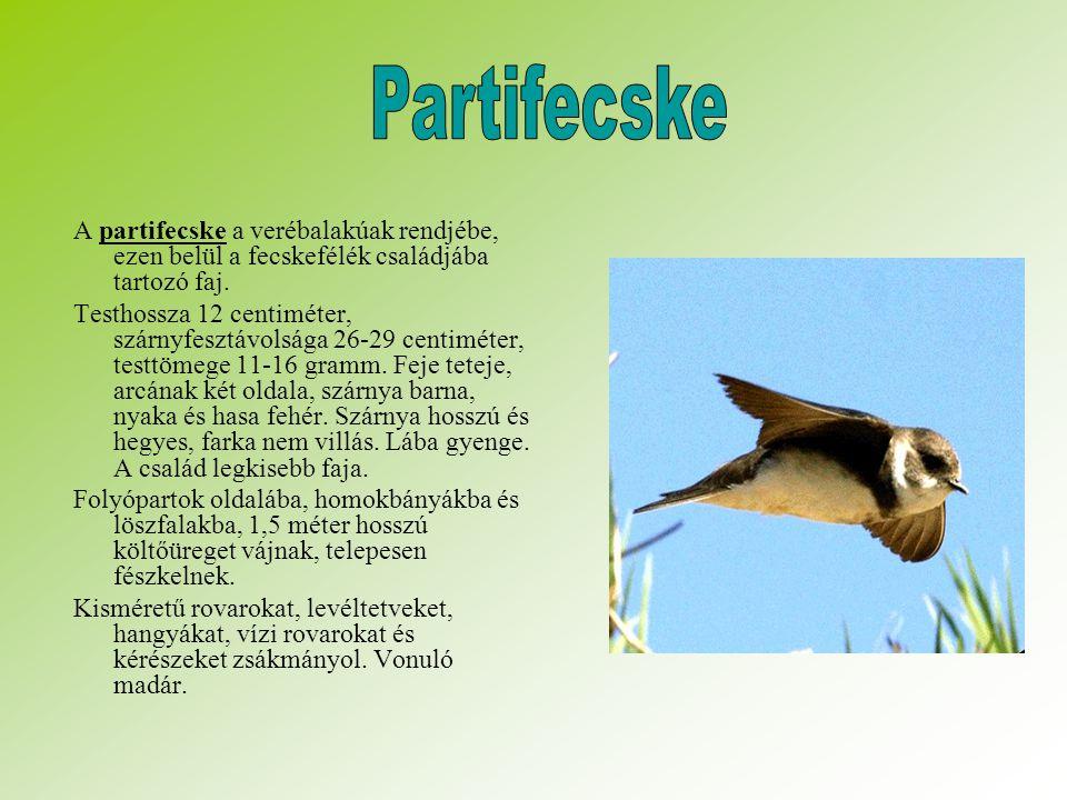 Partifecske A partifecske a verébalakúak rendjébe, ezen belül a fecskefélék családjába tartozó faj.