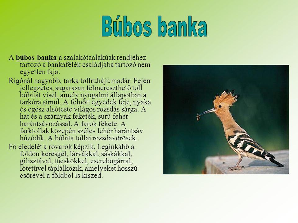Búbos banka A búbos banka a szalakótaalakúak rendjéhez tartozó a bankafélék családjába tartozó nem egyetlen faja.