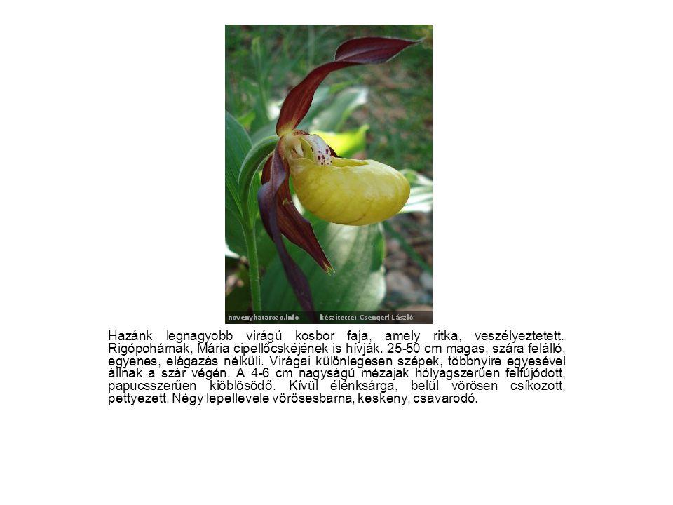 Hazánk legnagyobb virágú kosbor faja, amely ritka, veszélyeztetett