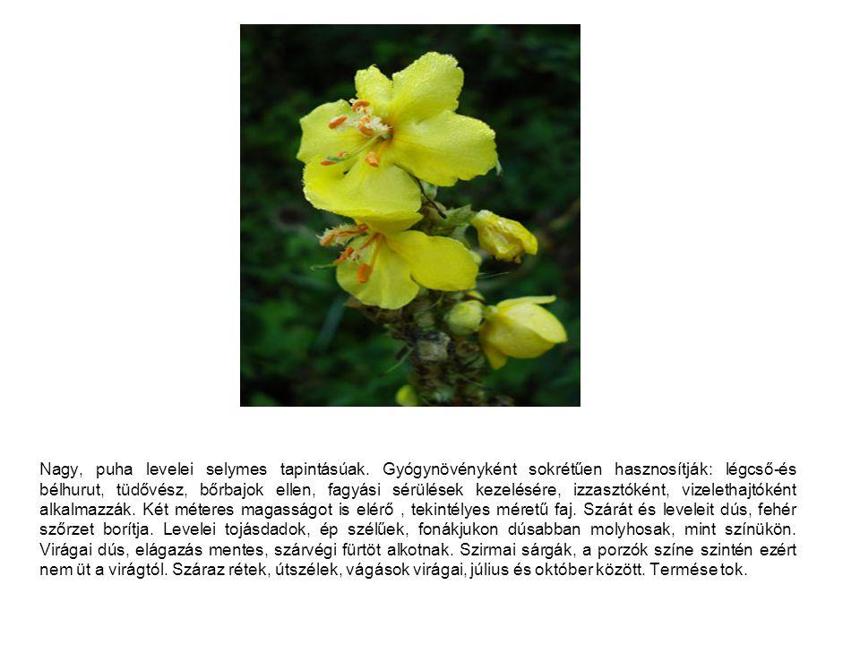 Nagy, puha levelei selymes tapintásúak