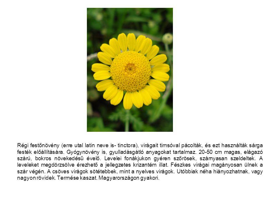 Régi festőnövény (erre utal latin neve is- tinctora), virágait timsóval pácolták, és ezt használták sárga festék előállítására.