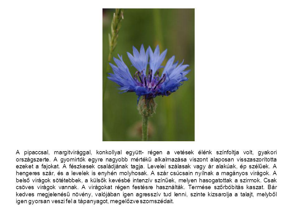 A pipaccsal, margitvirággal, konkollyal együtt- régen a vetések élénk színfoltja volt, gyakori országszerte.