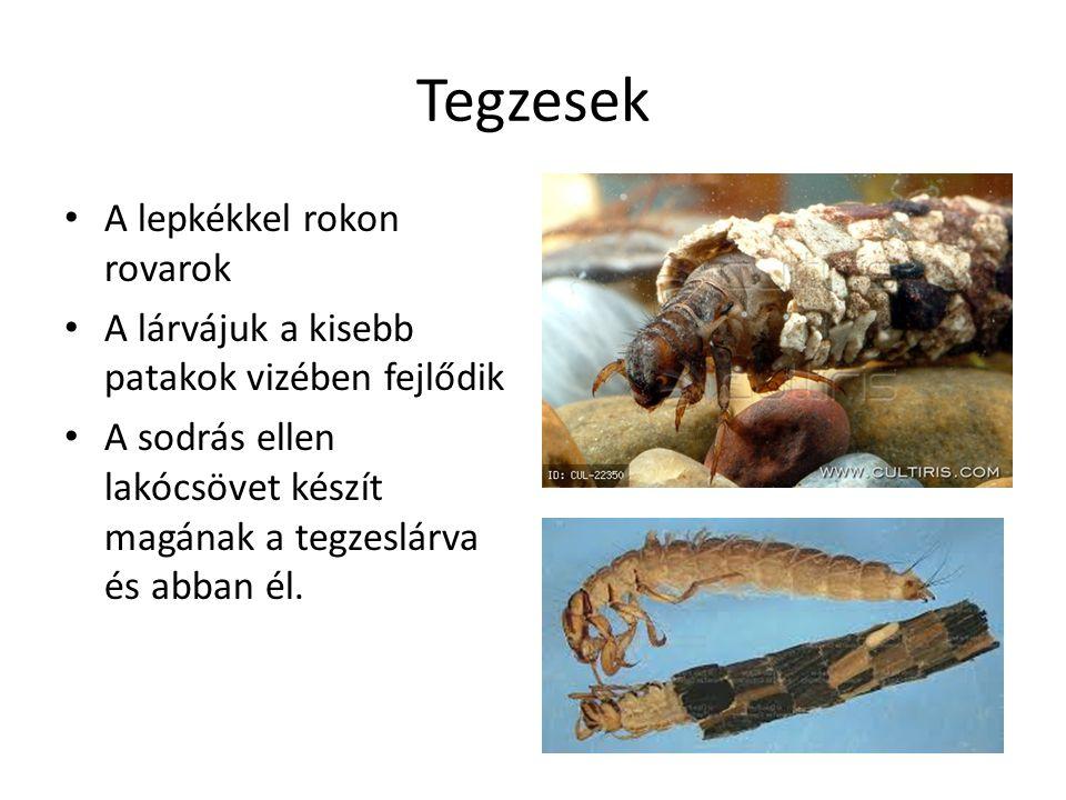 Tegzesek A lepkékkel rokon rovarok