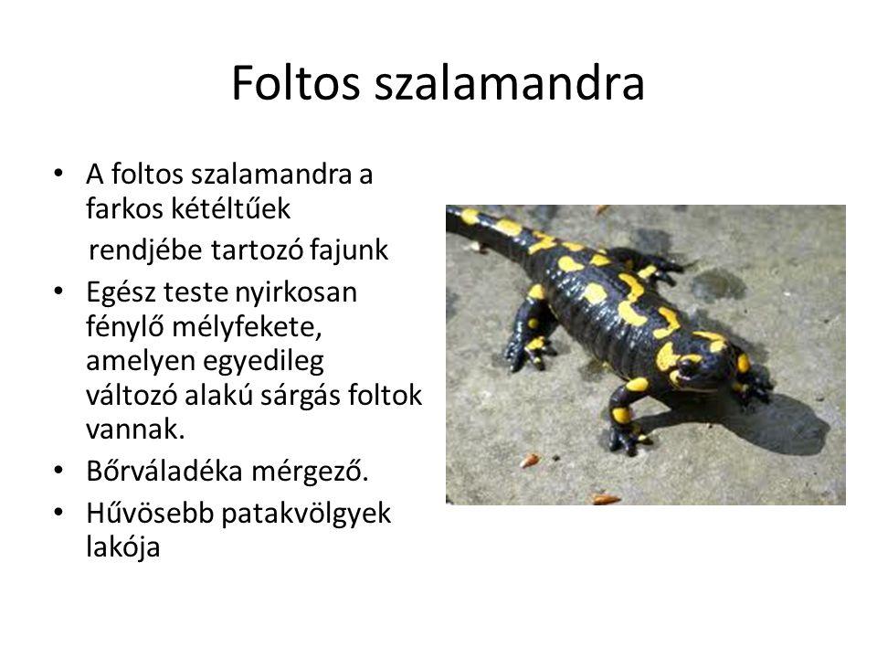 Foltos szalamandra A foltos szalamandra a farkos kétéltűek