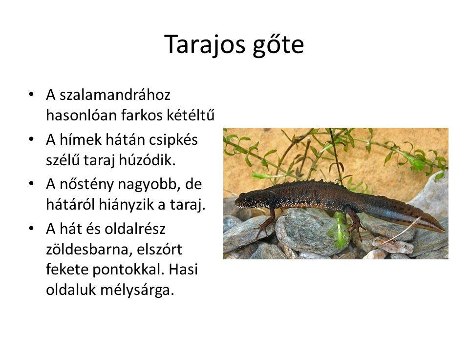 Tarajos gőte A szalamandrához hasonlóan farkos kétéltű