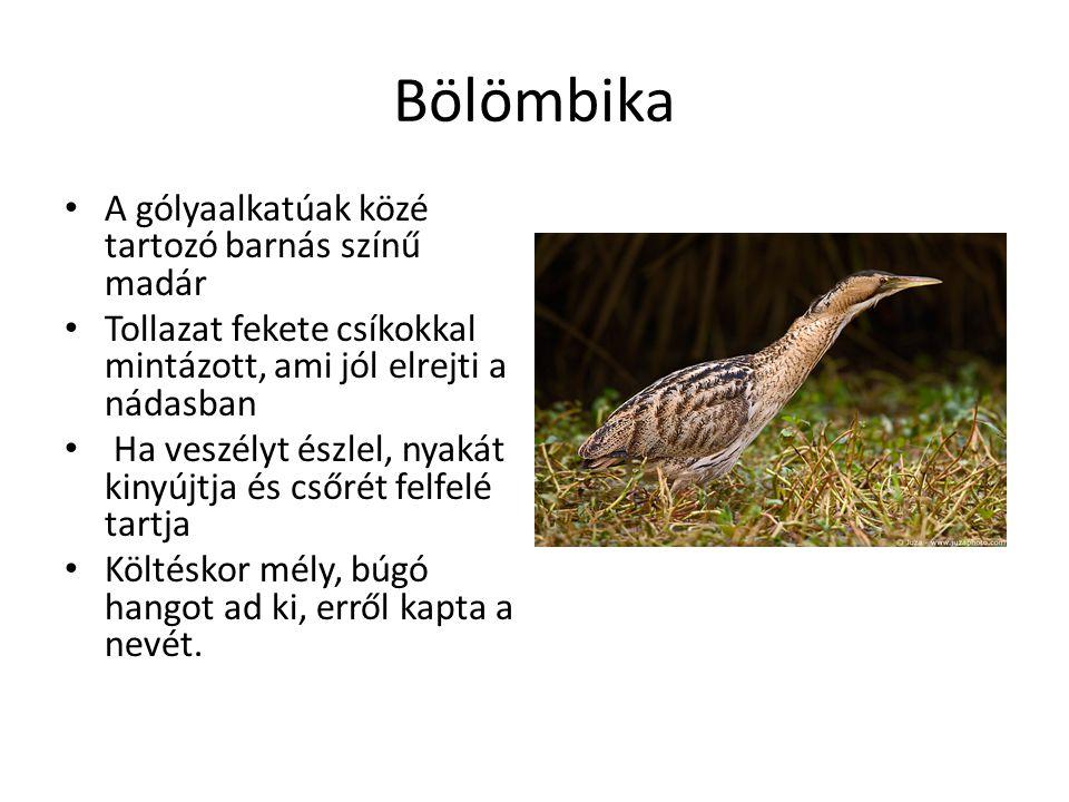 Bölömbika A gólyaalkatúak közé tartozó barnás színű madár