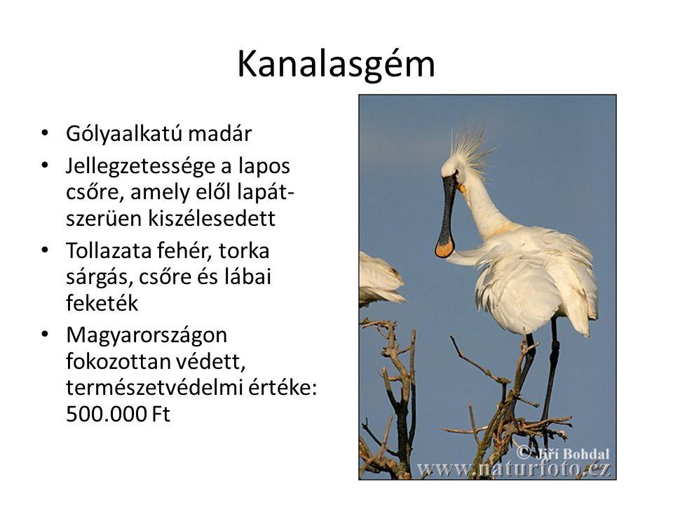 Kanalasgém Gólyaalkatú madár