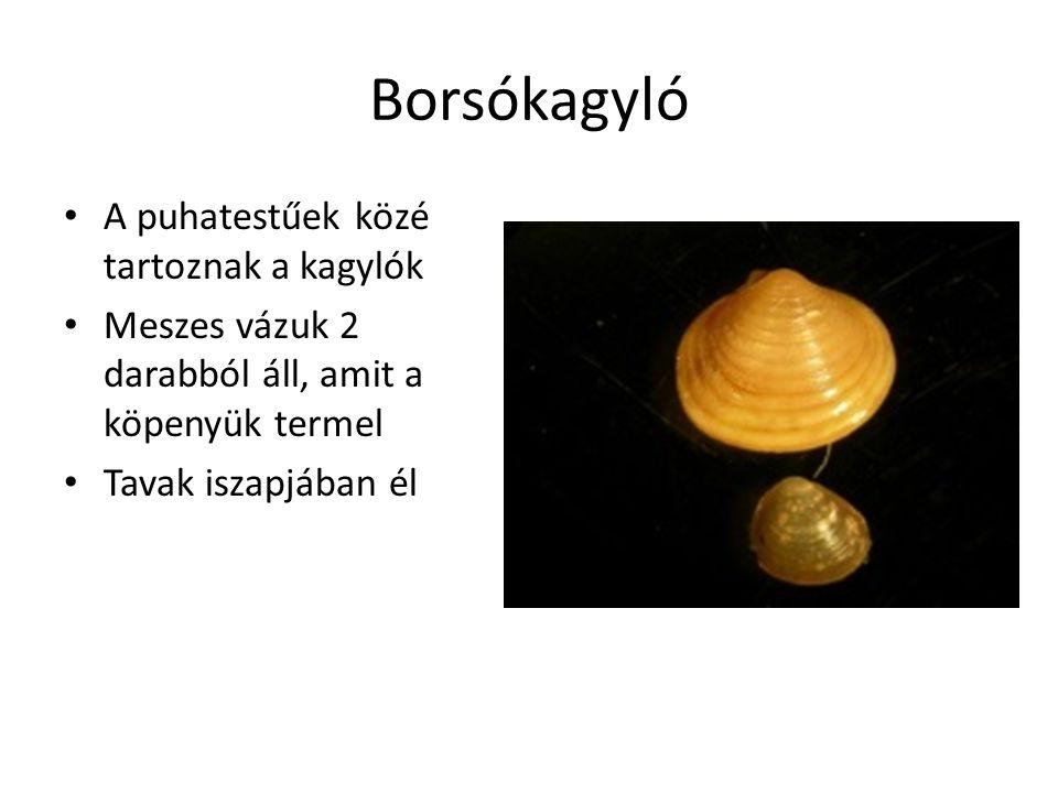 Borsókagyló A puhatestűek közé tartoznak a kagylók