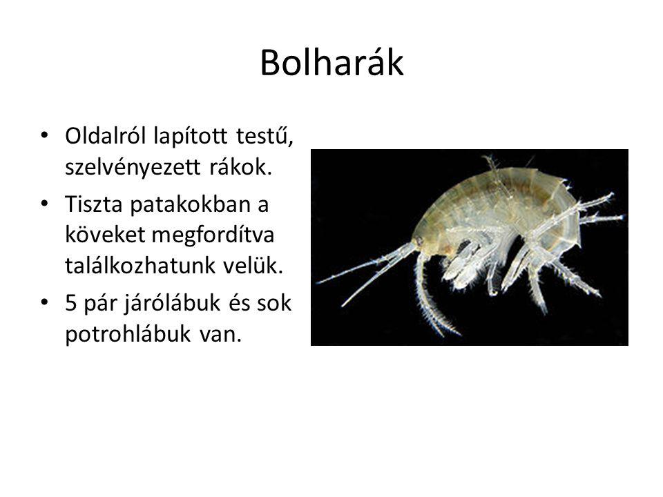 Bolharák Oldalról lapított testű, szelvényezett rákok.