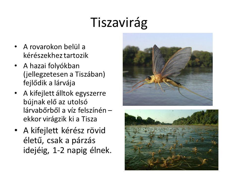 Tiszavirág A rovarokon belül a kérészekhez tartozik. A hazai folyókban (jellegzetesen a Tiszában) fejlődik a lárvája.