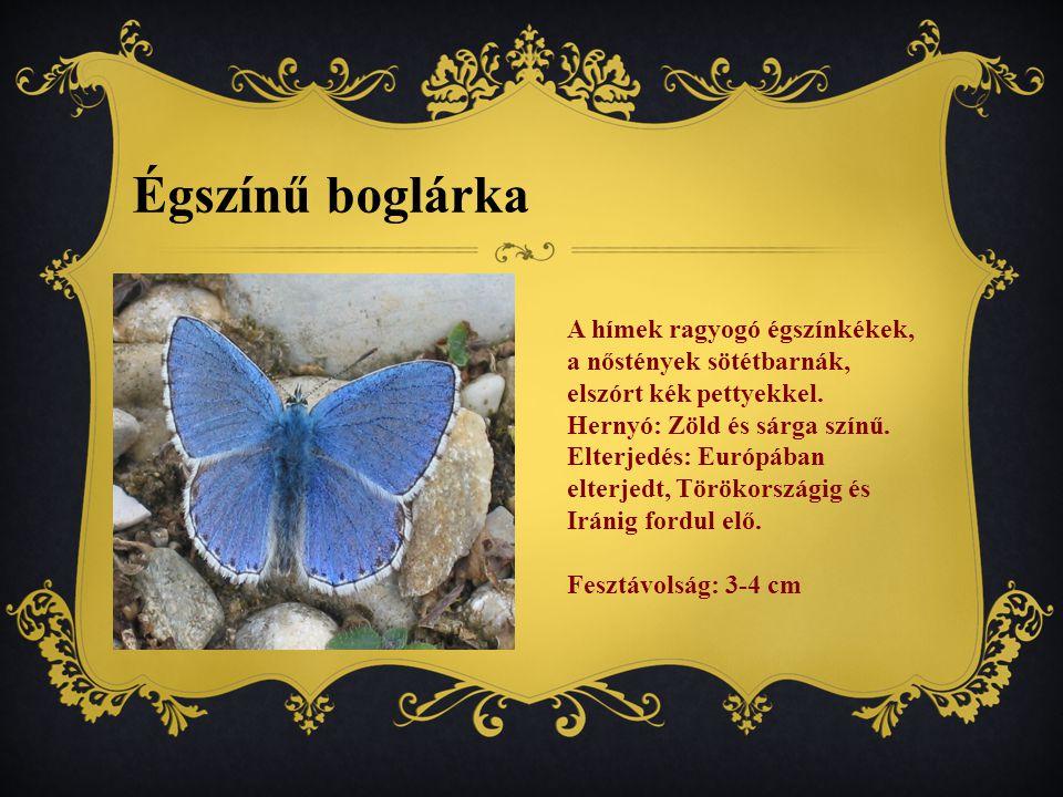 Égszínű boglárka A hímek ragyogó égszínkékek, a nőstények sötétbarnák, elszórt kék pettyekkel.