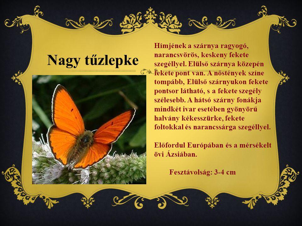 Hímjének a szárnya ragyogó, narancsvörös, keskeny fekete szegéllyel