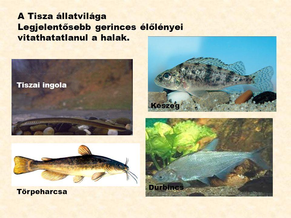 A Tisza állatvilága Legjelentősebb gerinces élőlényei vitathatatlanul a halak.