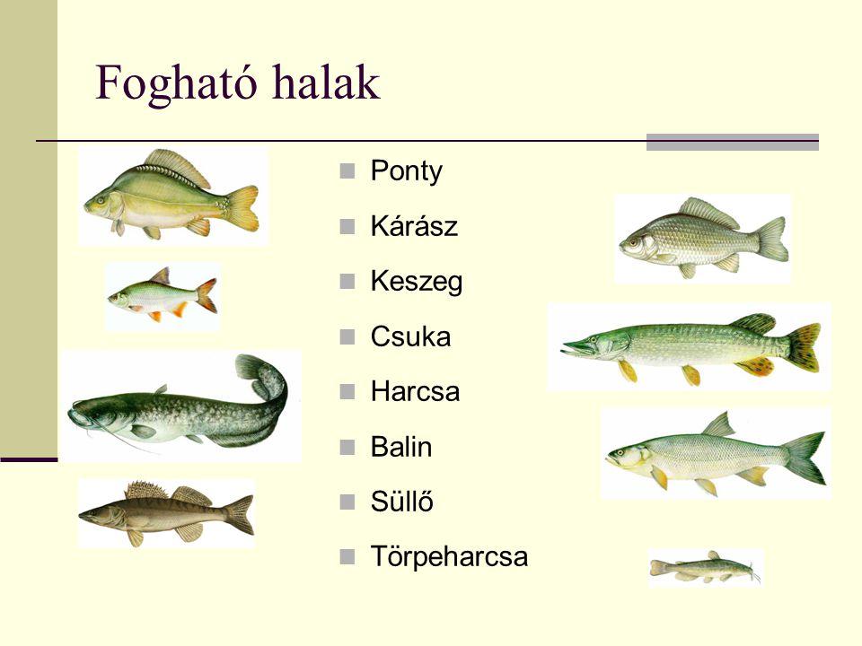 Fogható halak Ponty Kárász Keszeg Csuka Harcsa Balin Süllő Törpeharcsa
