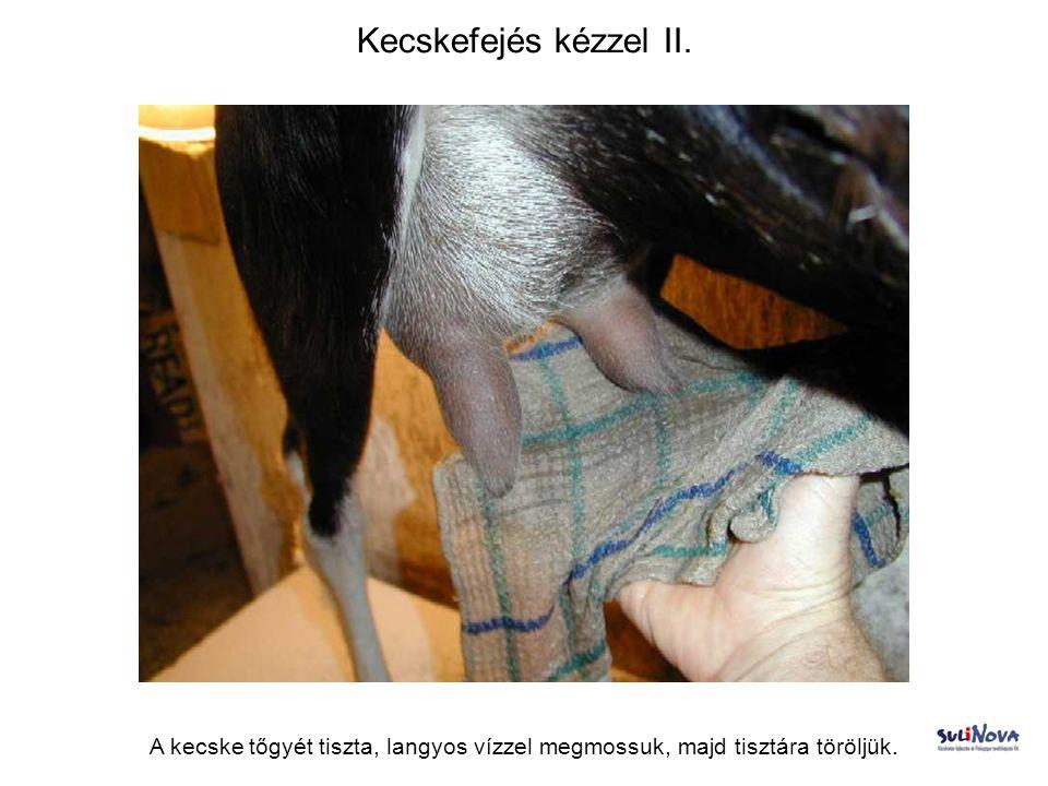 Kecskefejés kézzel II. A kecske tőgyét tiszta, langyos vízzel megmossuk, majd tisztára töröljük.