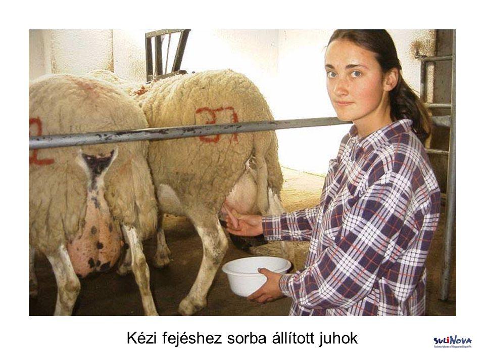 Kézi fejéshez sorba állított juhok