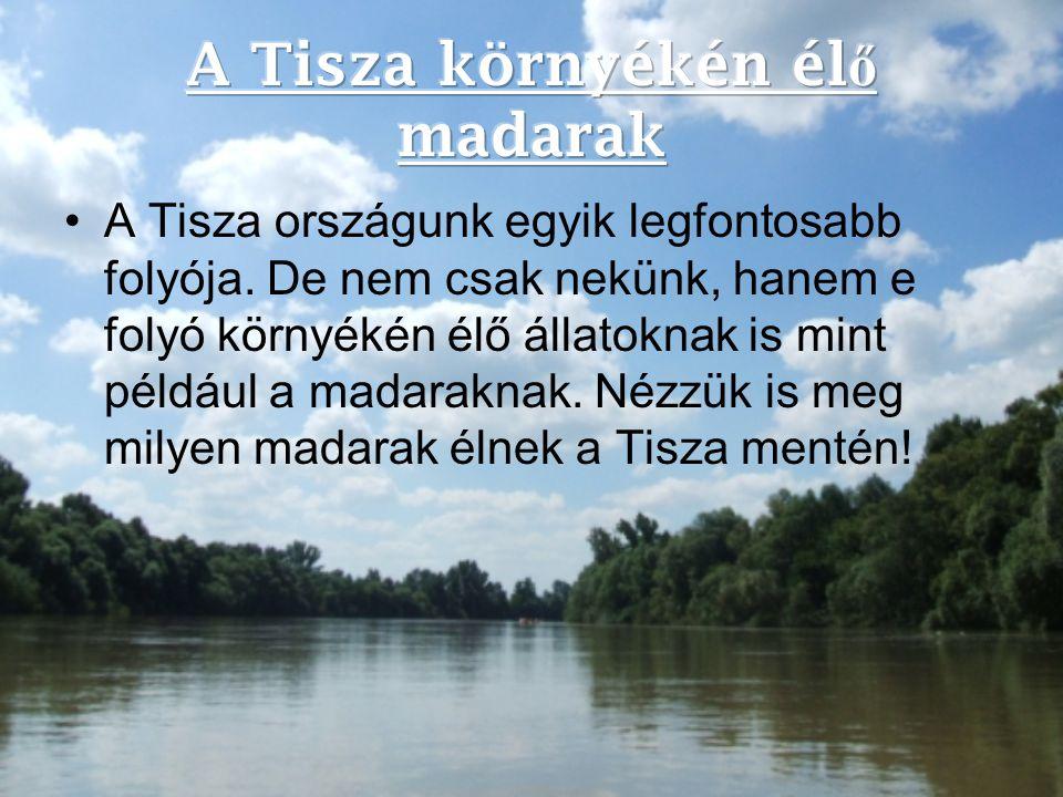 A Tisza környékén élő madarak