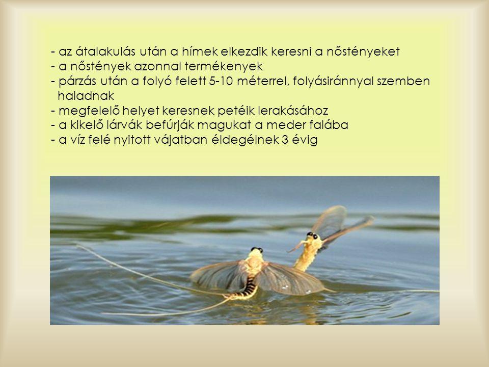 - az átalakulás után a hímek elkezdik keresni a nőstényeket - a nőstények azonnal termékenyek - párzás után a folyó felett 5-10 méterrel, folyásiránnyal szemben haladnak - megfelelő helyet keresnek petéik lerakásához - a kikelő lárvák befúrják magukat a meder falába - a víz felé nyitott vájatban éldegélnek 3 évig
