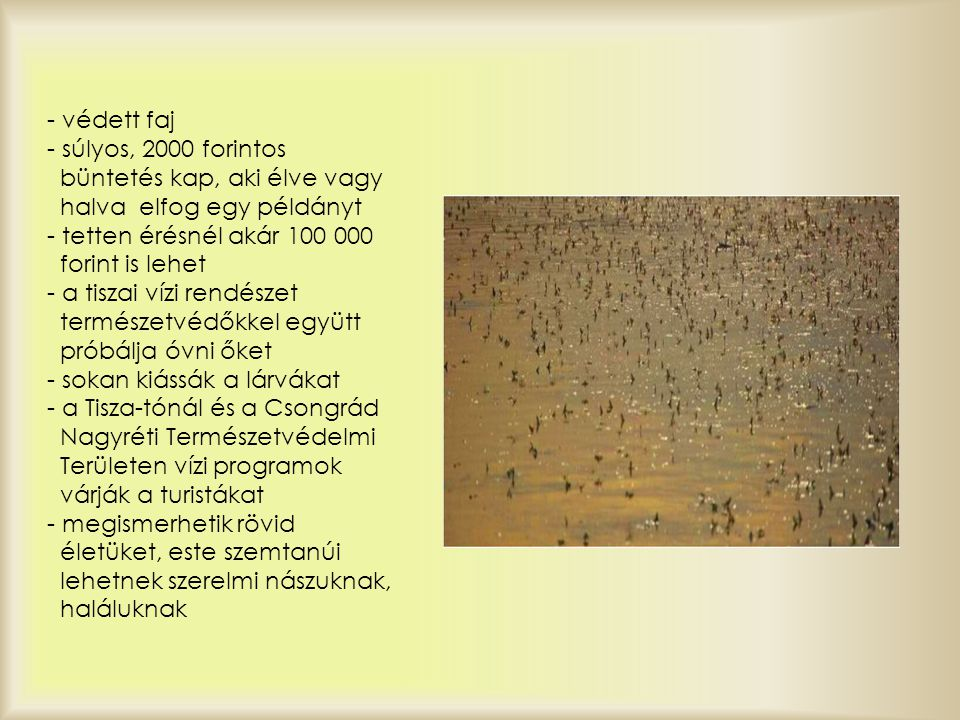- védett faj - súlyos, 2000 forintos büntetés kap, aki élve vagy halva elfog egy példányt - tetten érésnél akár 100 000 forint is lehet - a tiszai vízi rendészet természetvédőkkel együtt próbálja óvni őket - sokan kiássák a lárvákat - a Tisza-tónál és a Csongrád Nagyréti Természetvédelmi Területen vízi programok várják a turistákat - megismerhetik rövid életüket, este szemtanúi lehetnek szerelmi nászuknak, haláluknak