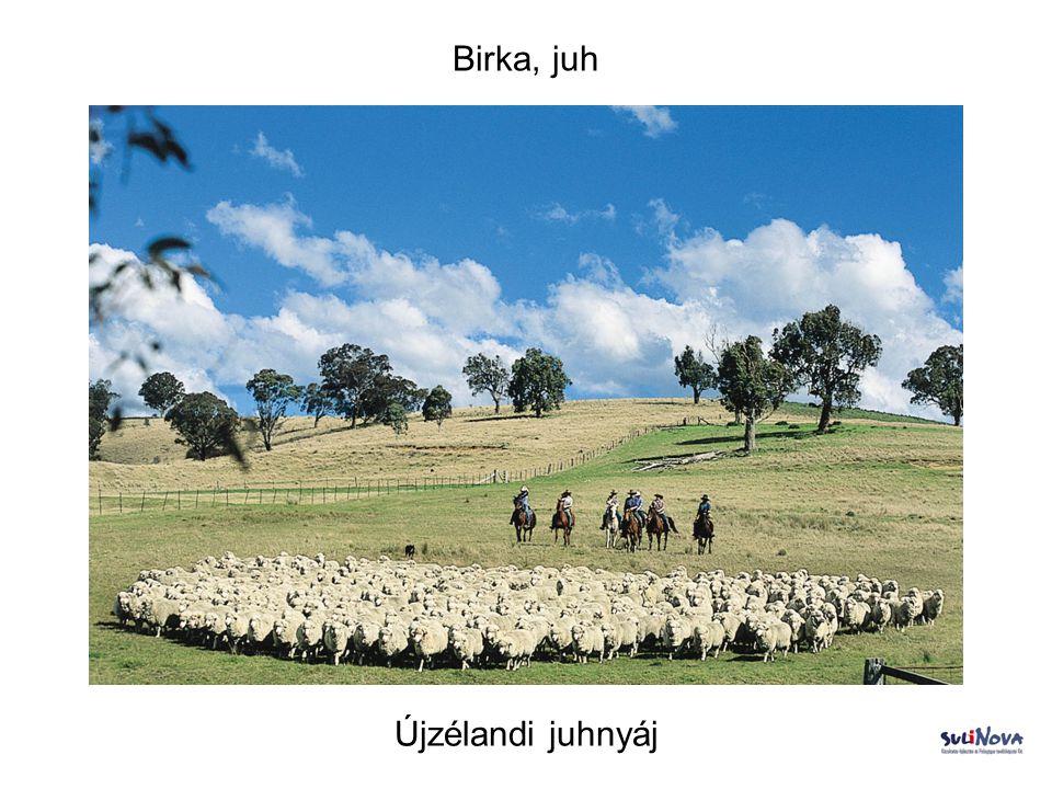Birka, juh Újzélandi juhnyáj