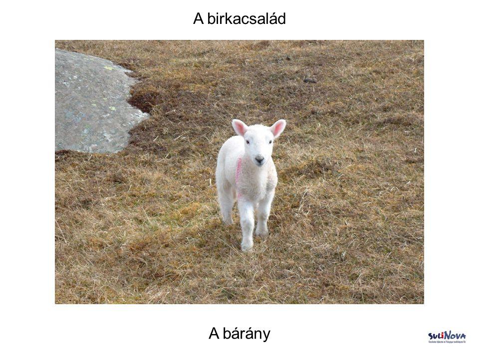 A birkacsalád A bárány