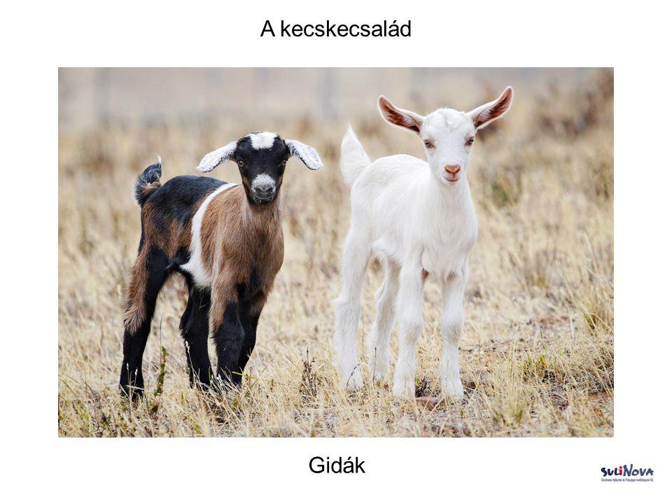 A kecskecsalád Gidák