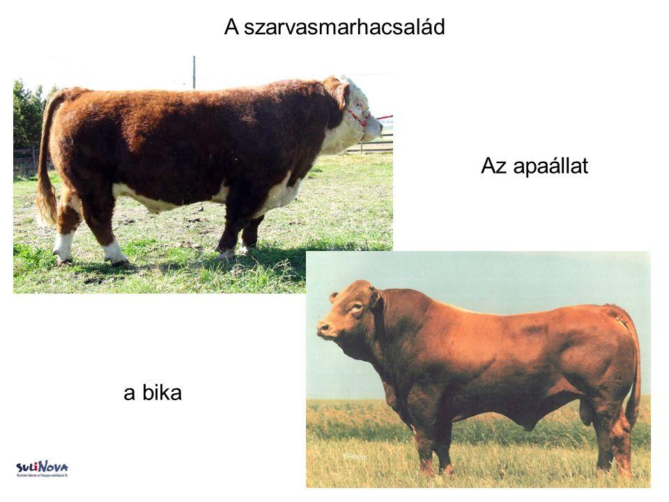 A szarvasmarhacsalád Az apaállat a bika