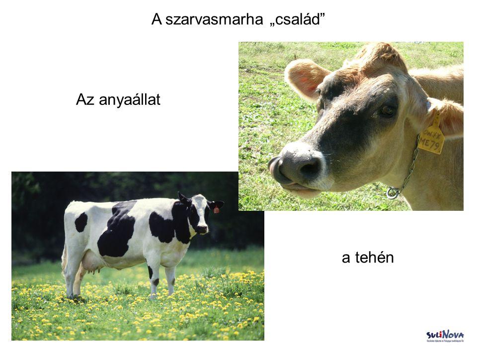 """A szarvasmarha """"család"""