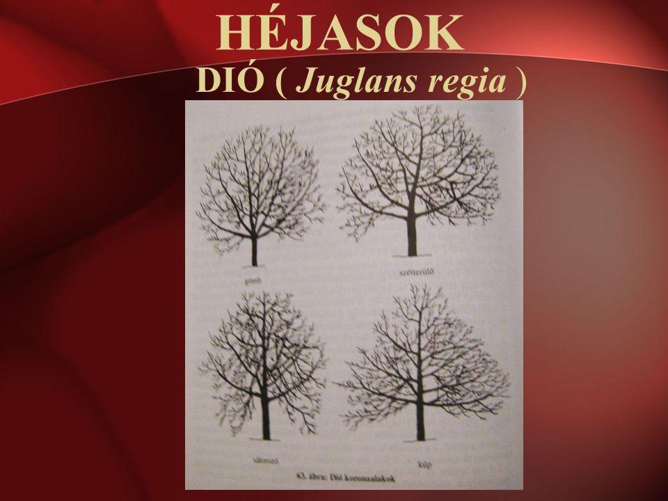 HÉJASOK DIÓ ( Juglans regia )