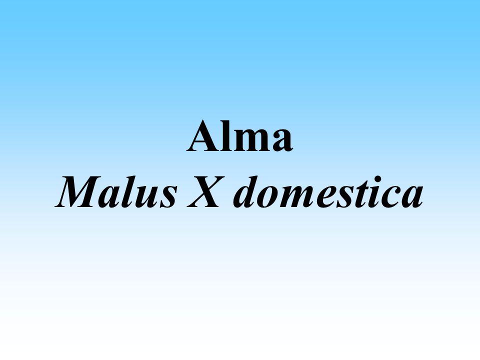 Alma Malus X domestica