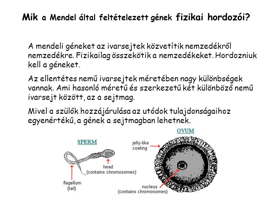 Mik a Mendel által feltételezett gének fizikai hordozói