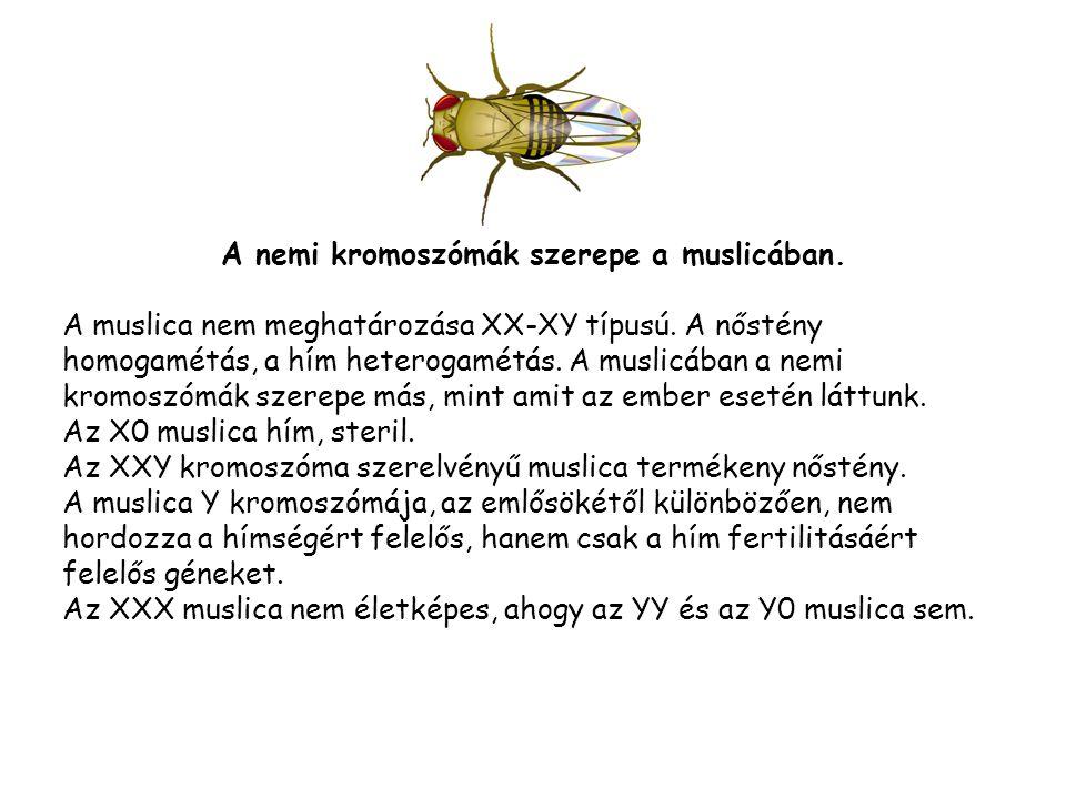 A nemi kromoszómák szerepe a muslicában.