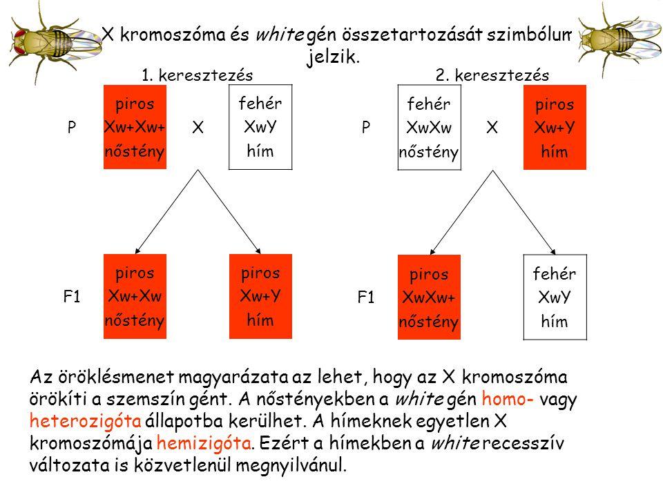 Az X kromoszóma és white gén összetartozását szimbólumok jelzik.