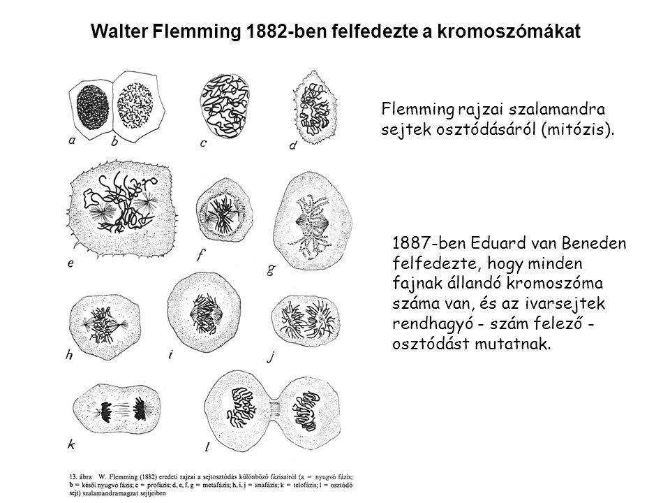 Walter Flemming 1882-ben felfedezte a kromoszómákat