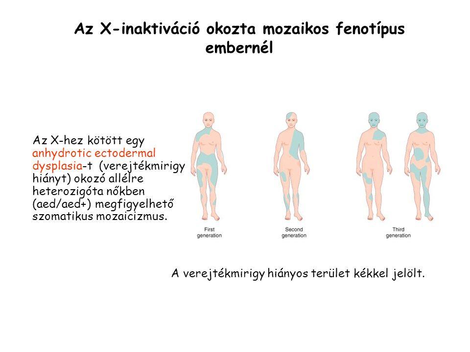 Az X-inaktiváció okozta mozaikos fenotípus