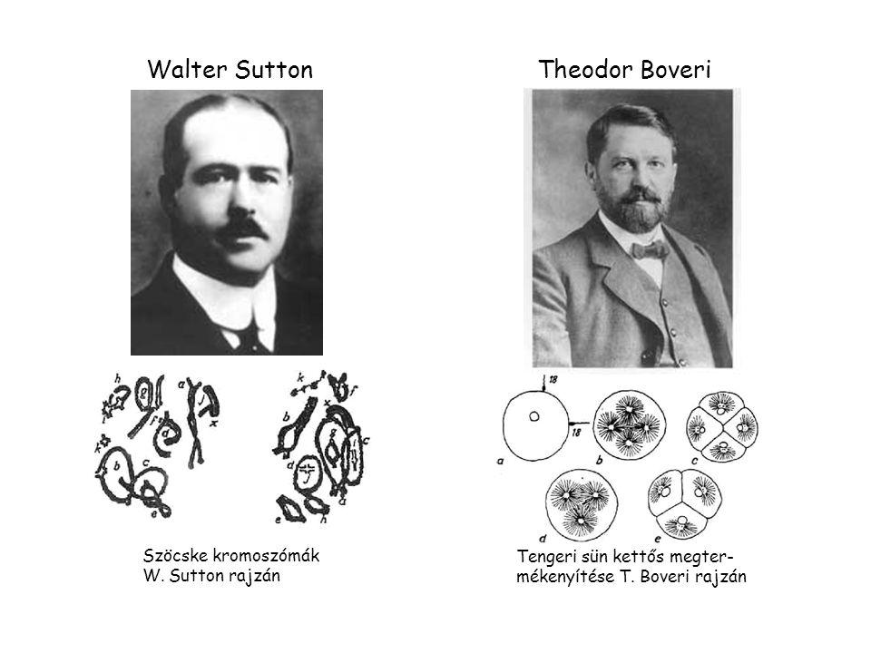 Walter Sutton Theodor Boveri Szöcske kromoszómák