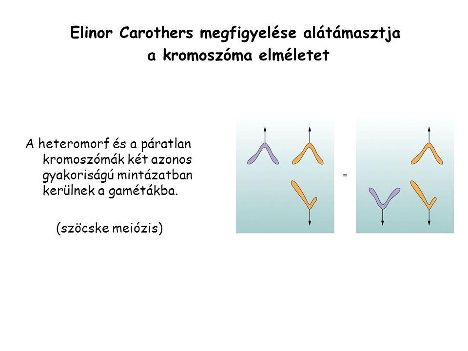 Elinor Carothers megfigyelése alátámasztja a kromoszóma elméletet