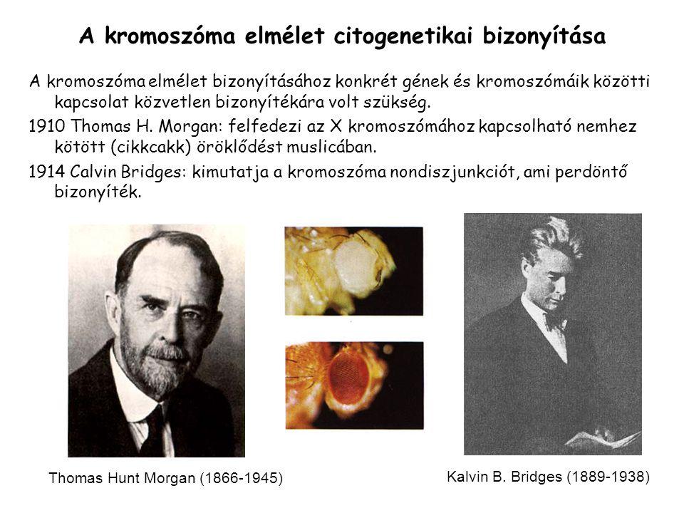 A kromoszóma elmélet citogenetikai bizonyítása