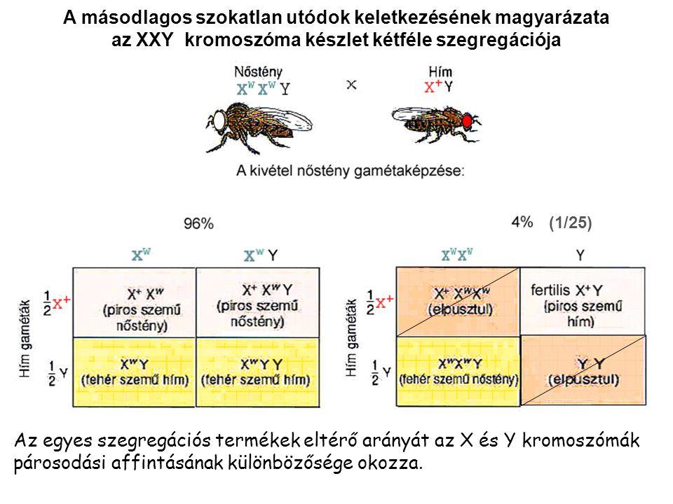 A másodlagos szokatlan utódok keletkezésének magyarázata az XXY kromoszóma készlet kétféle szegregációja