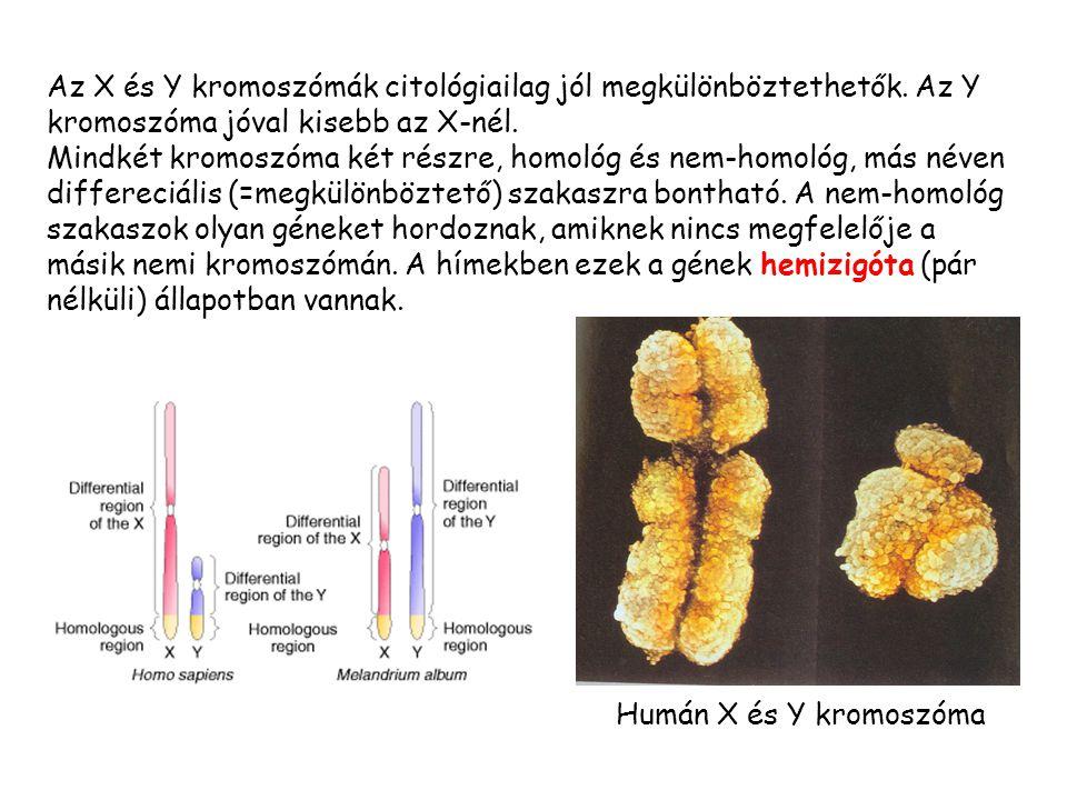 Az X és Y kromoszómák citológiailag jól megkülönböztethetők