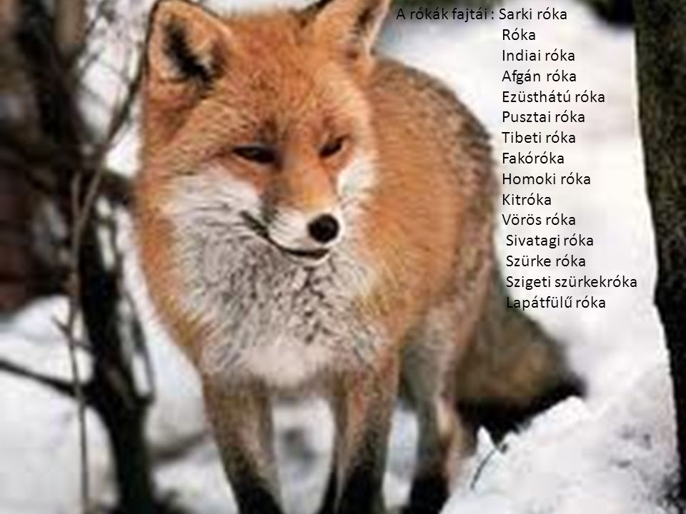 A rókák fajtái : Sarki róka