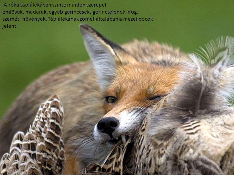 A róka táplálékában szinte minden szerepel,