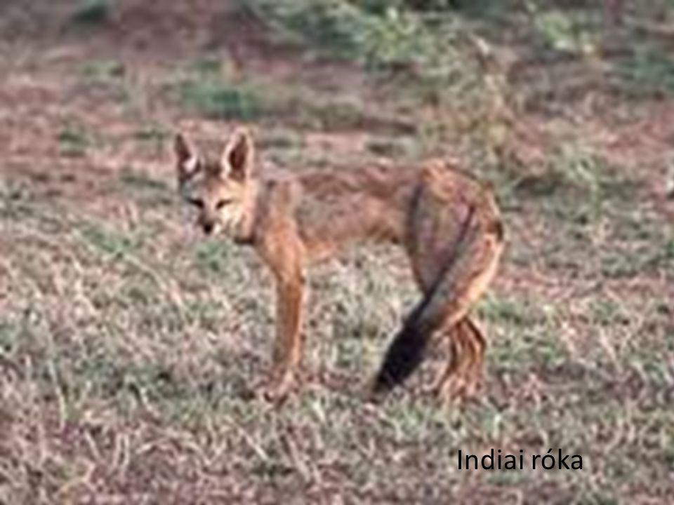 Indiai róka