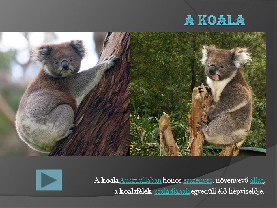 A Koala A koala Ausztráliában honos erszényes, növényevő állat,