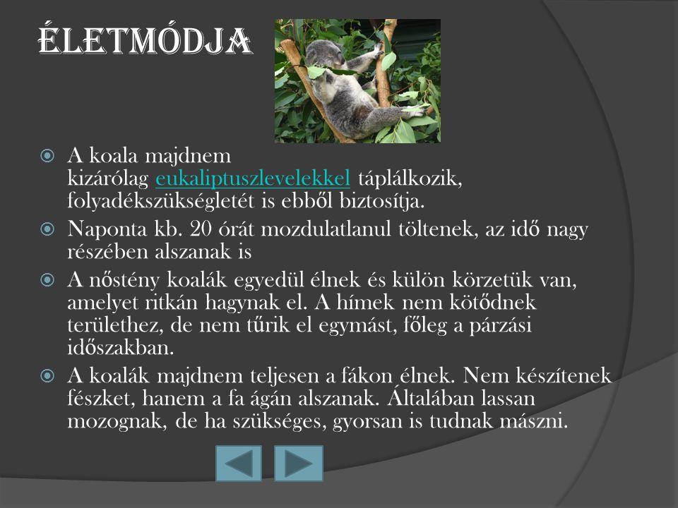 Életmódja A koala majdnem kizárólag eukaliptuszlevelekkel táplálkozik, folyadékszükségletét is ebből biztosítja.