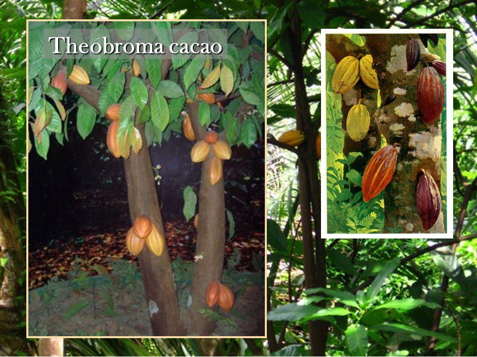 Theobroma cacao (Theobroma cacao.