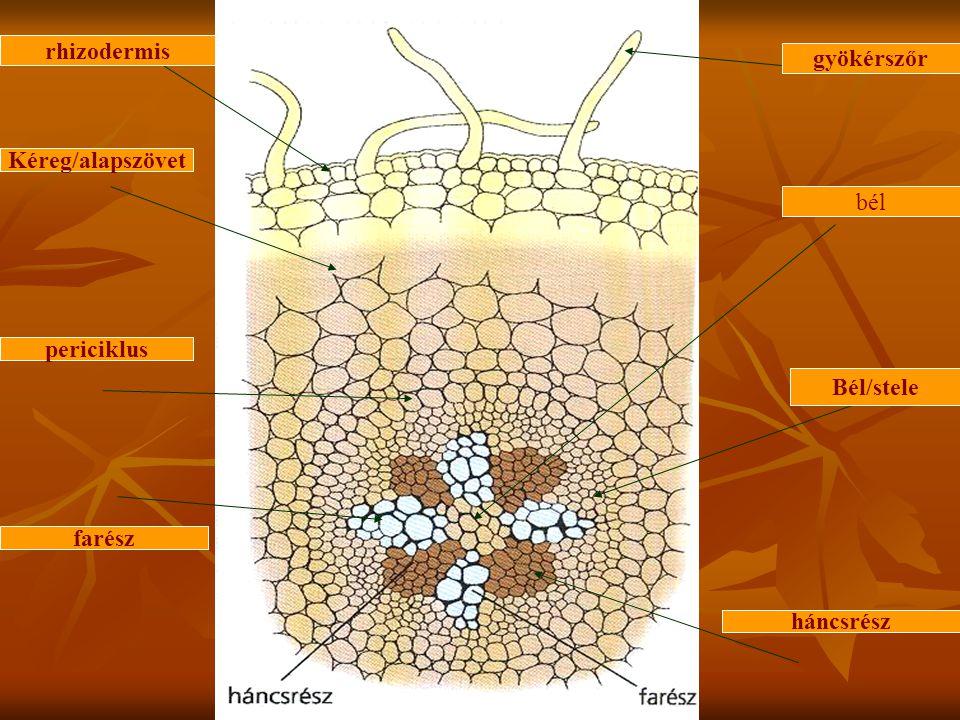rhizodermis gyökérszőr Kéreg/alapszövet bél periciklus Bél/stele farész háncsrész