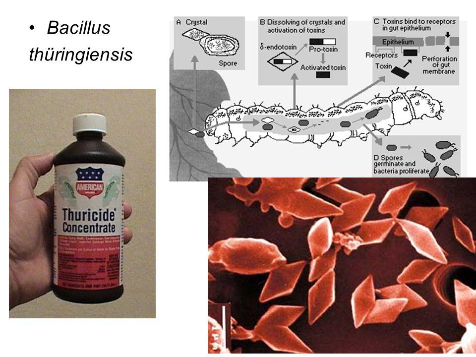 Bacillus thüringiensis